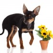 Chihuahua dog with flowers on white background. — Stock Photo #24869361