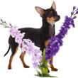Chihuahua dog with flowers on white background. — Stock Photo #24869453