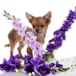 Chihuahua dog with flowers on white background. — Stock Photo #24869541