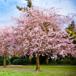 Sakura flowers blooming. Beautiful pink cherry blossom — Stock Photo #24869873