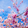 Sakura flowers blooming. Beautiful pink cherry blossom - Stock Photo