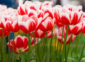 Colorful tulips. Beautiful spring flowers. Spring landscape — Stock Photo