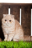 Exotic shorthair cat. beautiful cat in a box. — Stock Photo