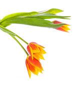 Tulip flower isolated on white background — Stock Photo
