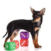 Chihuahua, 5 miesięcy. pies chihuahua z kostki na w tle — Zdjęcie stockowe