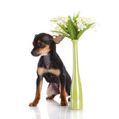 Pies chihuahua z kwiaty na białym tle. — Zdjęcie stockowe