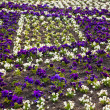 Heartsease, flower garden.  flowers background pansy - Stock Photo