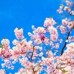 Sakura flowers blooming. Beautiful pink cherry blossom — Stock Photo #24870463
