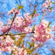 Sakura pink flower - Stock Photo
