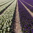 Field of hyacinth. — Stock Photo