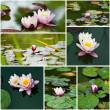 Water lily collage. — Stock Photo