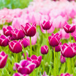 Beautiful spring flowers. Tulips — Stock Photo