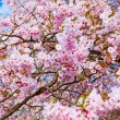 Sakura flowers blooming. Beautiful pink cherry blossom — Stock Photo #25192545