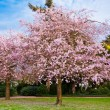 Sakura flowers blooming. Beautiful pink cherry blossom — Stock Photo #25192549