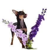 白色背景上的花的吉娃娃狗. — 图库照片