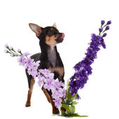 Pes chihuahua s květy na bílém pozadí. — Stock fotografie