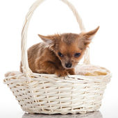 Chihuahua in the basket. — Stock Photo