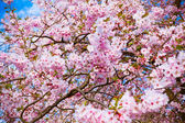 Sakura flowers blooming. Beautiful pink cherry blossom — Stock Photo