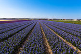 Field of hyacinth. — Stock Photo