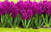 Spring flower. hyacinth — Stock Photo