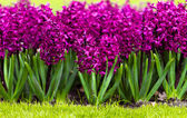 Spring flower. hyacinth — Stock Photo