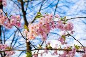 Sakura pink flower — Stock Photo