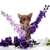 Chihuahua hunden med blommor på vit bakgrund. — Stockfoto