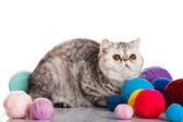 Exotic shorthair cat. Cat with balls of threads. — Stock Photo