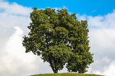 Green tree and cloudy sky — Stock Photo