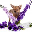 Chihuahua dog with flowers on white background. — Stock Photo #25902129
