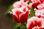 Beautiful spring flowers. Tulips — Stock Photo