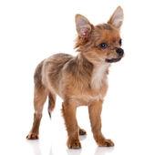 Chihuahua dog on white background. — Stock Photo