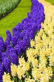 Hyacinth flowers. Spring flowers — Stock Photo