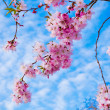 Sakura flowers blooming. Beautiful pink cherry blossom — Stock Photo #26226123