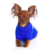 Toy terrier. Russian toy terrier on a white background. Funny li — Stock Photo