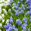 Hyacinth flowers. Spring flowers — Stock Photo #26514155