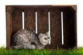 Exotic shorthair cat. beautiful cat in a box. — Stock Photo