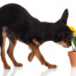 Chihuahua dog with flowers on white background. — Stock Photo #26890205