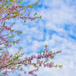 Sakura flowers blooming. Beautiful pink cherry blossom — Stock Photo #26890587
