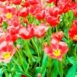 Beautiful spring flowers. Tulips — Stock Photo #27106457