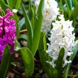 Stock Photo: Hyacinth flowers. Spring flowers