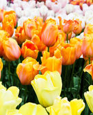 Beautiful spring flowers. Tulips — Stok fotoğraf