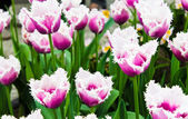 Beautiful spring flowers. Tulips — Photo