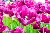 Beautiful spring flowers. Tulips — 图库照片
