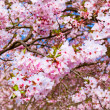 Sakura flowers blooming. Beautiful pink cherry blossom — Stock Photo #27861089