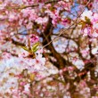 Sakura flowers blooming. Beautiful pink cherry blossom — Stock Photo #27861175