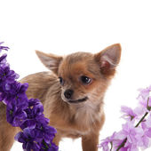 Chihuahua dog with flowers on white background. — Stok fotoğraf