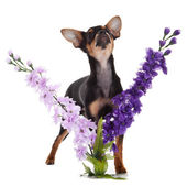 Chihuahua dog with flowers on white background. — Zdjęcie stockowe