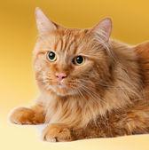 Maine coon katten — Stockfoto