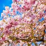Sakura flowers blooming. Beautiful pink cherry blossom — Stock Photo #29402637